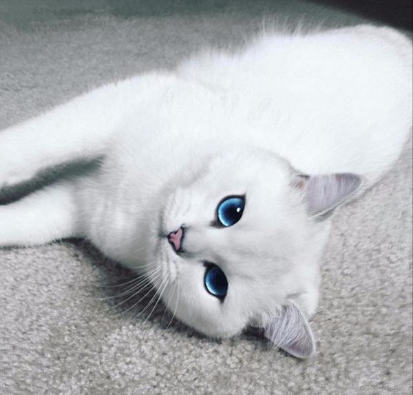 一只英国短毛猫因为它清澈的大眼睛和萌萌哒神态俘获了一众外国网友的