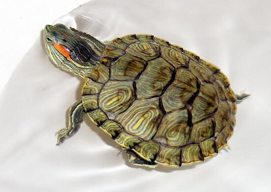 养乌龟绘画步骤