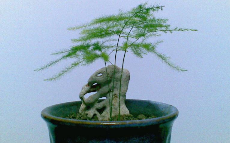 文竹盆景制作与养护 文竹盆景造型图片图片