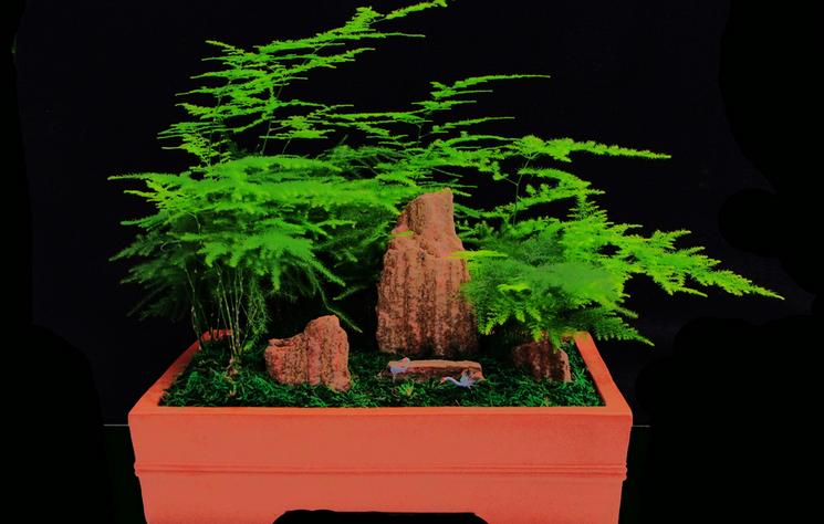 文竹盆景制作与养护 文竹盆景造型图片