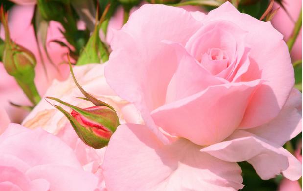 """粉玫瑰花语一:""""表白"""""""