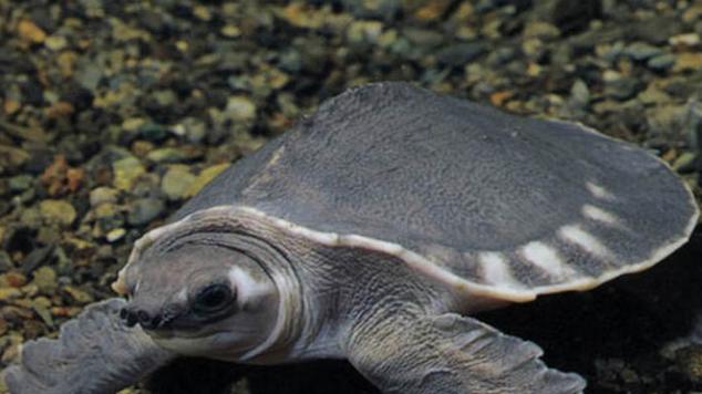 猪鼻龟是一种高度水栖的淡水龟类,除了产卵以外,常年生活于水中,故而四肢特化为像海龟那样的鳍状肢,这在淡水龟类中也是绝无仅有的。猪鼻龟成龟背甲的长度一般可达46-51cm,体重一般在18-22Kg,目前为止发现的最大的一只猪鼻龟的背甲长度达到了56.3cm,体重则达到了22.5Kg。其背甲较圆,呈深灰色,橄榄灰或者棕灰色,近边缘处有一排白色的斑点。边缘略带锯齿,由于外缘骨骼发育良好,结构完整,故而没有像鳖那样的裙边。也没有盾片,代之的则是连续并且略带皱褶的皮肤。背甲正中有一列刺状嵴。身体腹甲色浅,为白色