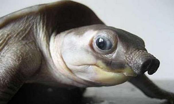 来看看猪鼻子龟图片赏析