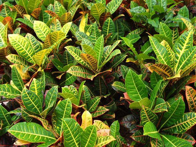 变叶木的养殖方法和注意事项 变叶木作用及图片欣赏