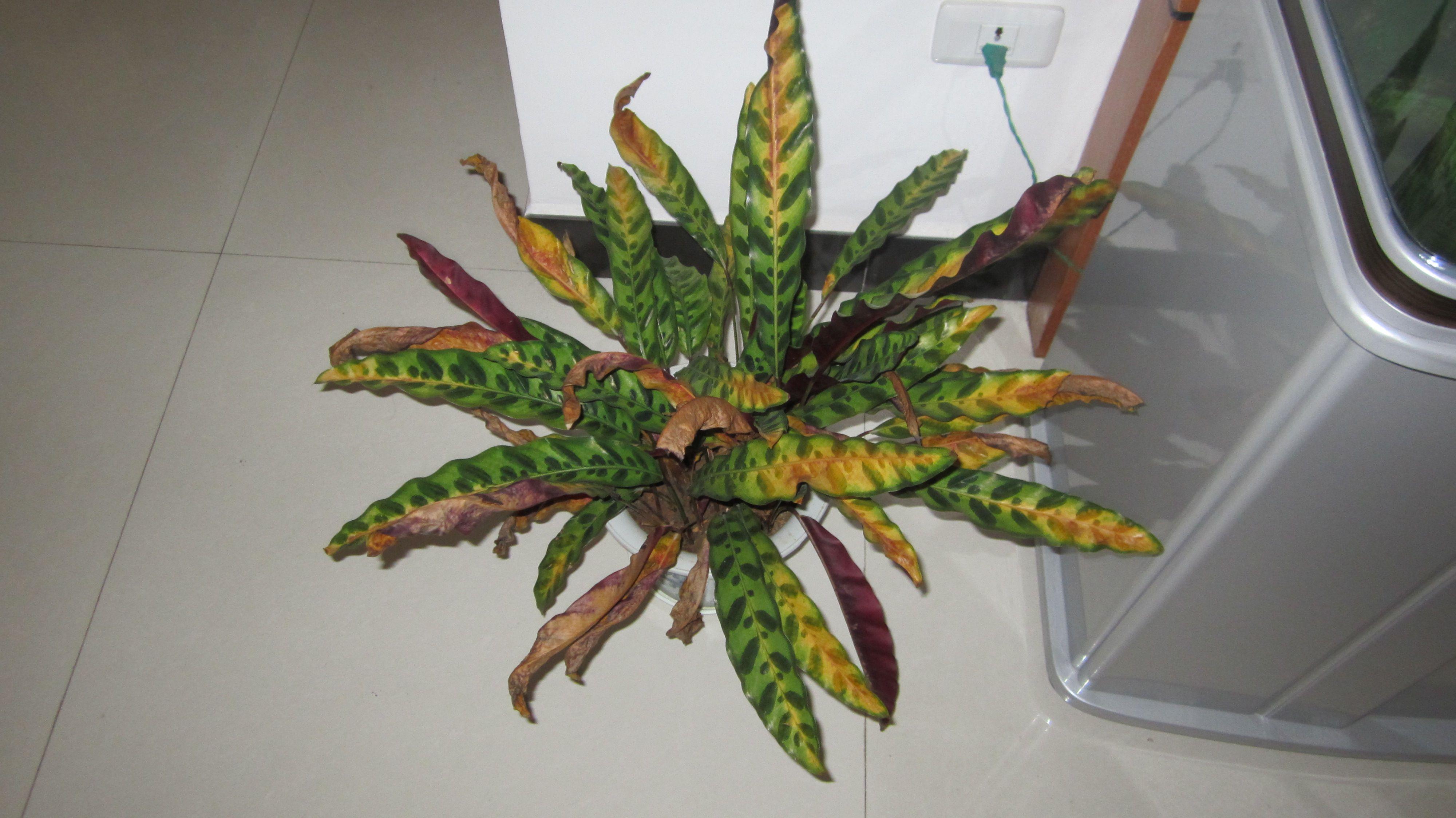 猫眼竹芋叶子发黄怎么办 原因及解决办法图片