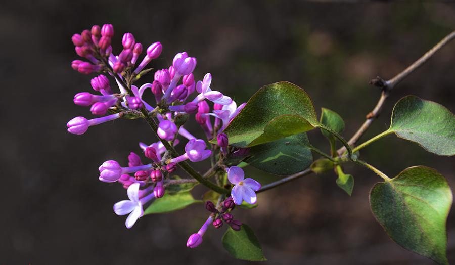 女人五月丁香网_丁香五月开花季节 关于丁香药用功效,你造吗?