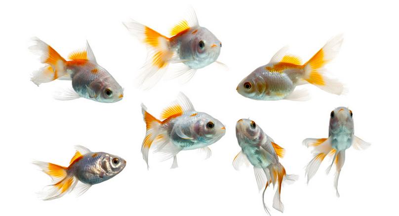 小金鱼简介: 再了解小金鱼的分类和价格之前,我们先来看一下小金鱼的基本情况,对它有一个简单的认识。小金鱼是金鱼的一个种类,它指的是金鱼当中个头比较小的一类金鱼。金鱼实际上是起源于中国的一种鱼类。人们饲养小金鱼的历史是非常悠久的,早在明朝的时候人们就开始养殖小金鱼了。