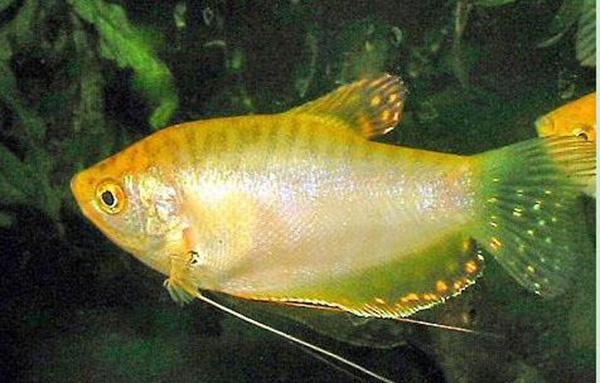 曼龙鱼养殖方法 曼龙鱼价格是多少图片