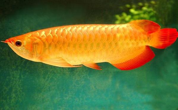 曼龙鱼属丝足鲈科,对水质要求不高,适应能力极强,很容易饲养的观赏鱼。其性情较凶猛,可以和性情温和的、体型中小型热带观赏鱼混养。那么曼龙鱼要怎么养呢?其价格又是多多少?下面装修网小编给大家简单介绍下。    曼龙鱼怎么养   曼龙鱼中又分为黄曼龙、蓝曼龙、银曼龙这几种,曼龙鱼喜欢吃杂食,可以准备一些动物性饵料作为食物,例如可以放入孑孓、线丝虫、水蚯蚓、水蚤等多种活饵;曼龙鱼也吃人工饵料,甚至吃活的小鱼苗,连虾蟹籽粒也摄食,但不会追逐吞不下的小鱼。不过曼龙鱼还是最喜欢浮在水面上的饲料。   曼龙鱼特别喜欢