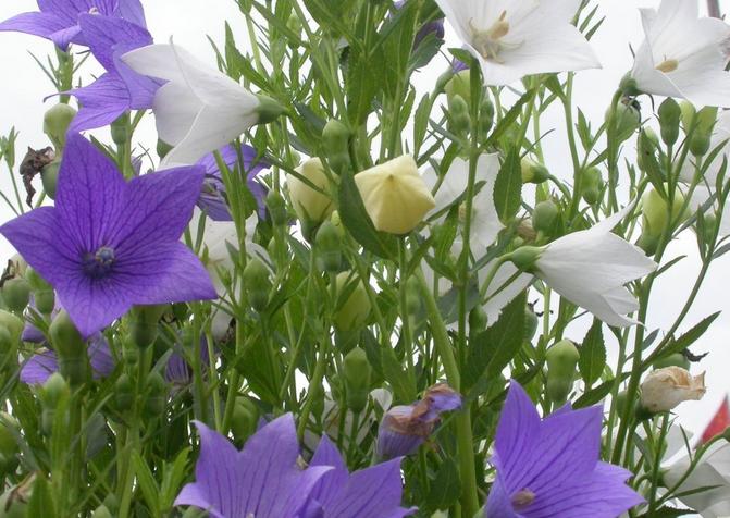 桔梗花的花语和作用 桔梗花图片赏析
