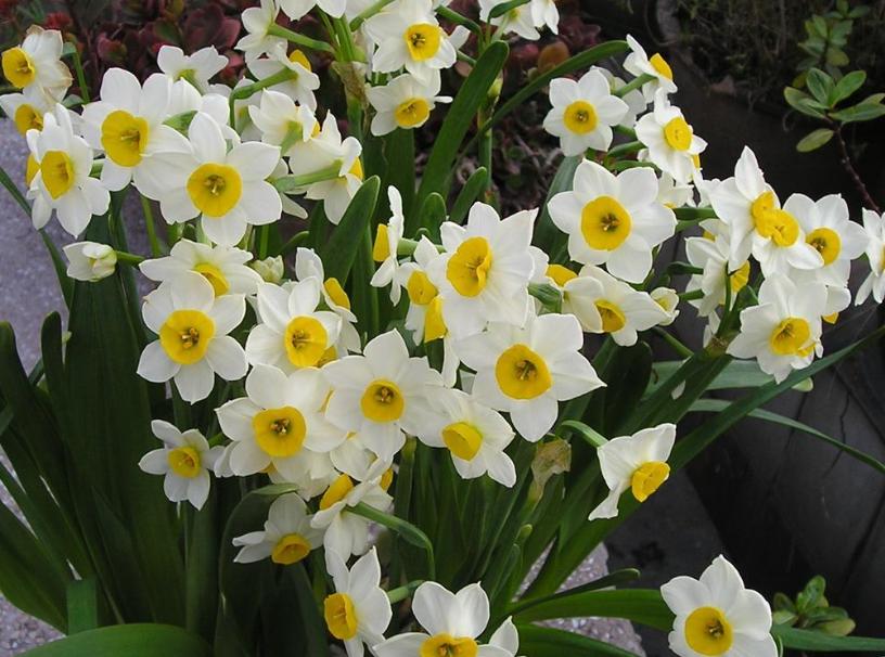 水仙花的养殖方法大全 水仙花养殖注意事项