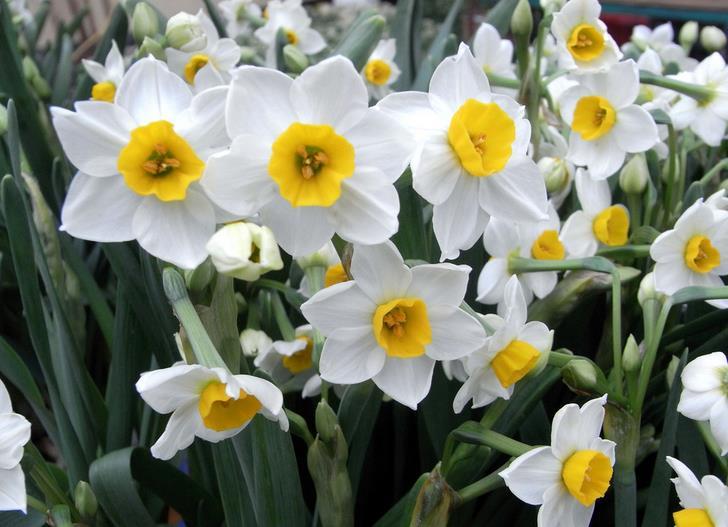 水仙花也是家居花卉养殖比较受欢迎的,大部分水仙花都是水养。那水仙花怎么养呢?什么时候开花呢?接下来小柒就分享下水仙花怎么养和水仙什么时候开花。  白色水仙花图片   一、水仙花怎么养   1、挑选种球要有讲究,主要注意看形状、观颜色、按压感三大要点。看形:优质的水仙鳞茎,一般个体大、形扁、质硬,表皮纵脉条纹距离较宽,中膜绷得很紧,皮色光亮,根盘宽大肥厚。   2、选择适当的生长环境。水仙性喜阳光、温暖,要求空气湿度大,不甚耐寒,且怕炎热,营养生长期需要湿润而又不积水的沙质的土壤。水仙和其它宿类多年生草