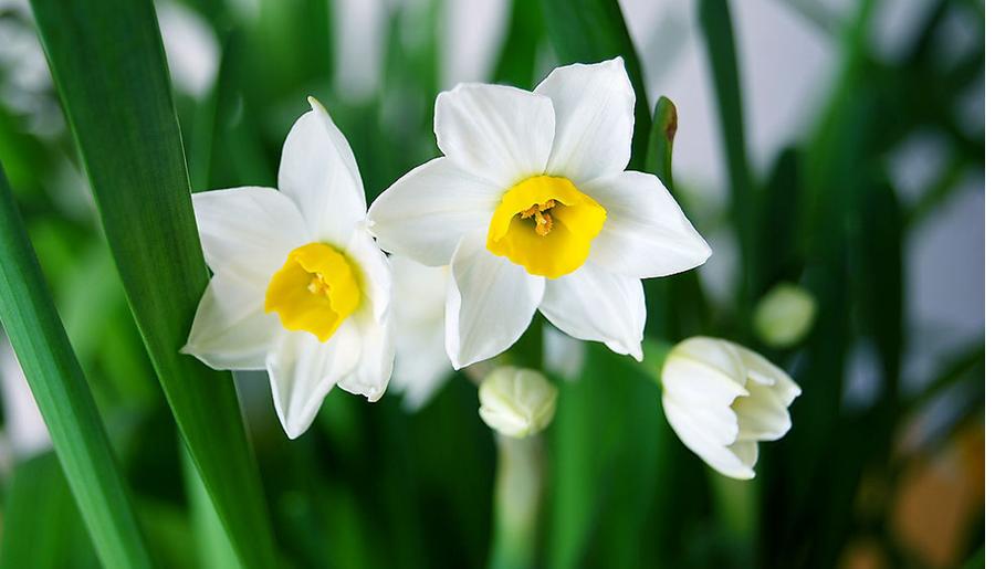 水仙花的知识大全 水仙花的功效与作用