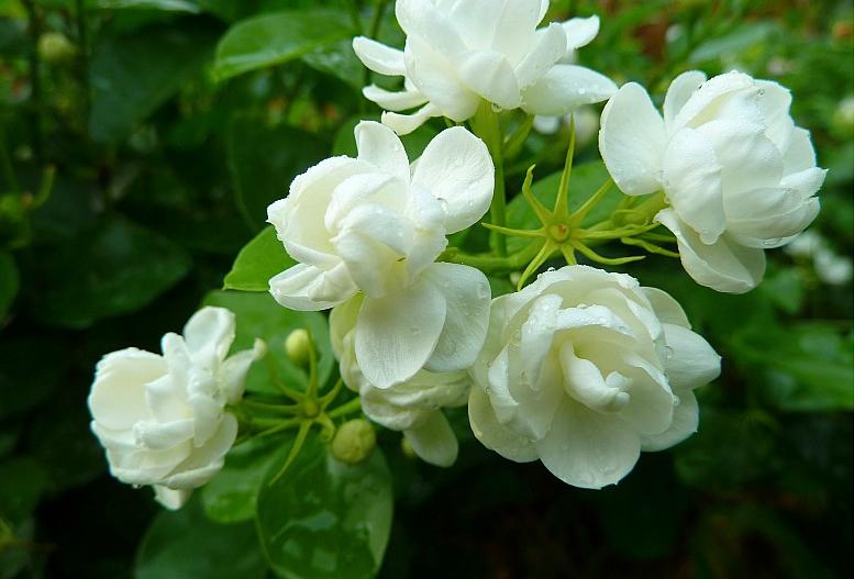 茉莉繁殖栽培技术