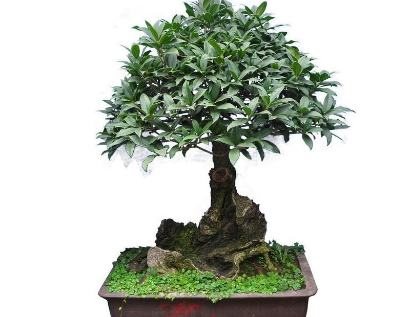 盆栽桂花树怎么种植 盆栽桂花树栽培方法