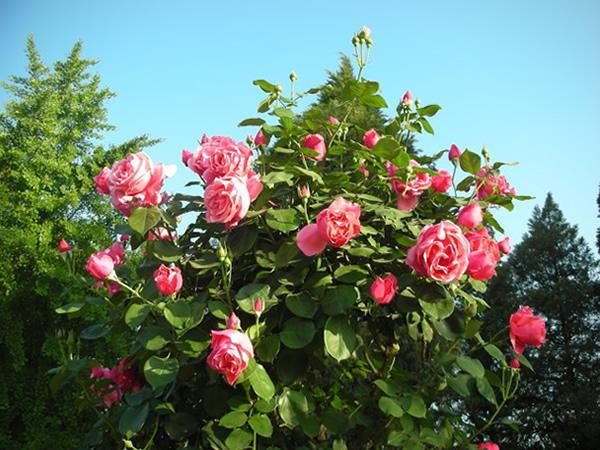 月季花被誉为花中皇后,五彩斑斓,十分的美丽。那月季花的花语是什么?月季花种类有哪些呢?是不是很多朋友想知道呢?接下来小柒就介绍下月季花的花语大全和与月季花的种类图片。    一、月季花花语大全   月季花的花语:等待有希望的希望,幸福、光荣、美艳长新。月季花种类主要有切花月季、食用月季、藤本月季、地被月季等。月季花色繁多,主要有红、紫、白、粉红、黄、橙黄、绿等颜色。   红色月季的花语和象征代表意义:纯洁的爱,热恋、贞节、勇气。   白色月季的花语和象征代表意义:尊敬、崇高、纯洁、纯真、俭朴或赤子之心
