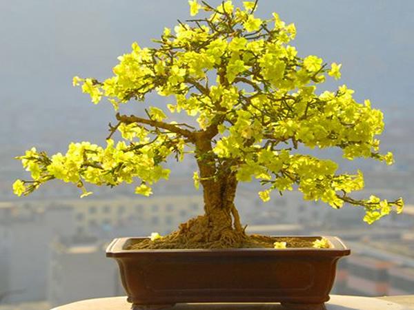 迎春花盆景制作及价格 迎春花盆景的养殖方法