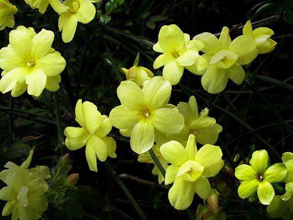 迎春花是什么颜色 迎春花的特点及花语