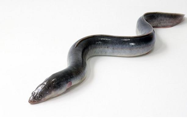 【图】海鳗鱼营养价值知识分析 海鳗鱼图片