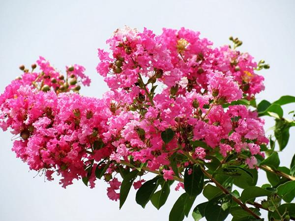 紫薇花花语是什么 紫薇花花语及图片分享