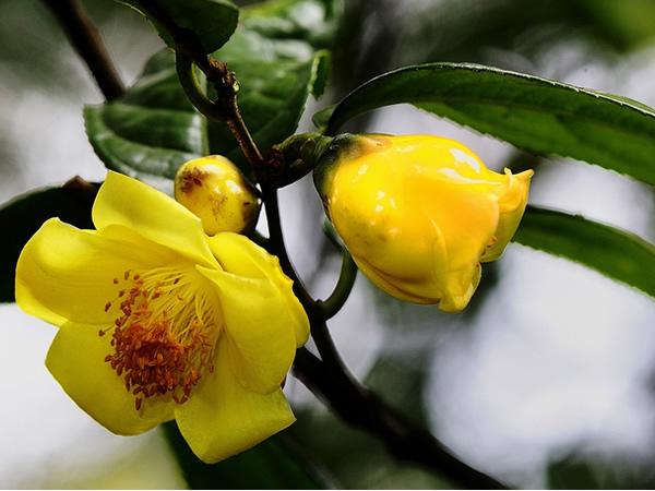 金花茶-珍贵品种也开始用有机肥啦你落后了吗?