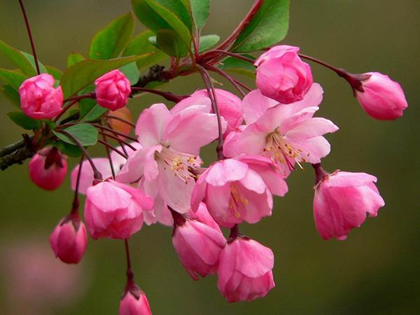 垂丝海棠的养殖方法 垂丝海棠盆景制作