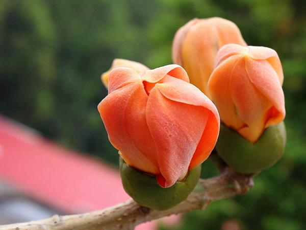 木棉花的花语是什么 木棉花的含义