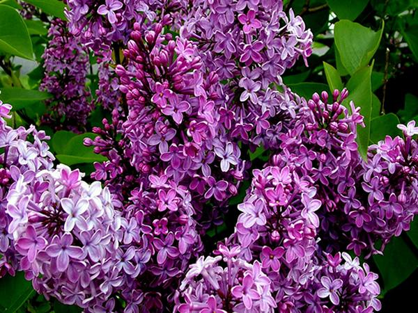 一首《丁香花》曾经红遍大江南北,以丁香花寄托思念。常见的丁香花是紫色的,花芳香袭人,大部分是用来观赏的,也有一部分是作为药材。那丁香花花语是什么呢?  一、丁香花花语是什么 丁香花花语:忧愁思念、光辉,寓意着爱情和暗结同心的希望。 前些天去花市买花,心情实在是愉快!