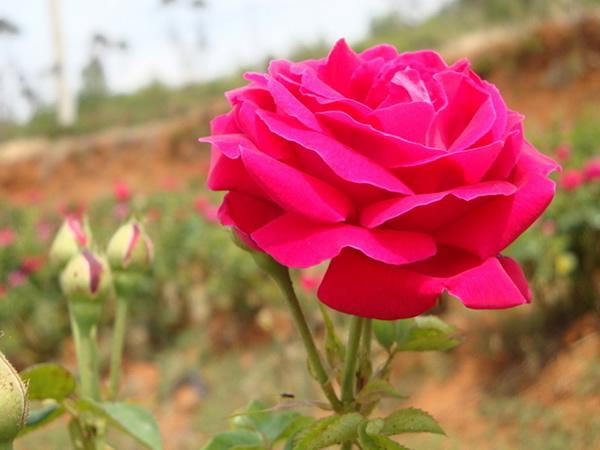 玫瑰花怎么种植呢?玫瑰花被称为爱情之花,古希腊和古罗马民族用玫瑰象征着爱神阿芙罗狄蒂(Aphrodite)、维纳斯(Venus),接下来和小柒一起了解下玫瑰花的种植方法和玫瑰花的繁殖方法吧。    一、玫瑰花的种植方法   1、玫瑰栽植大多以地栽为主,也有少量盆栽。在黄河流域及其以南地区可地栽,露地越冬。在寒冷的北方地区应盆栽,室内越冬,或挖沟埋盆越冬。   在秋季落叶后至春季萌芽前均可栽植,应选地势较高、向阳、不积水的地方栽植,深度以根距地面15厘米为宜。盆栽时采用腐叶土、园土、河沙混合的培养土,