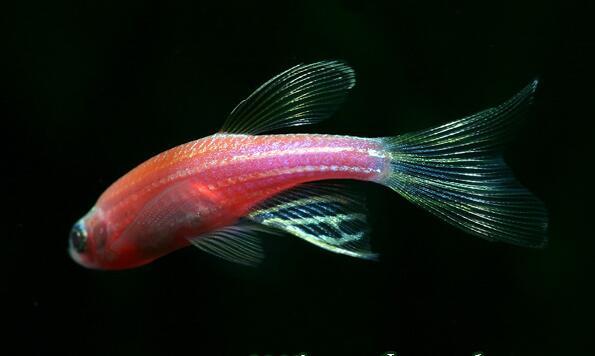 红斑马鱼怎么分公母 红斑马鱼繁殖注意事项图片