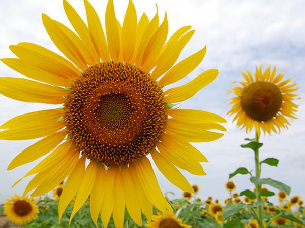 向日葵种子_向日葵的生育期是指从出苗到种子成熟所经历的天数,一般为85~120天