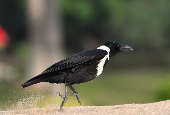 白颈鸦是雀形目、鸦科的鸟类,全长约48厘米。除颈后、上背、颈侧及前胸为白色并形成颈圈外,其余部分均为黑色。栖息于平原、耕地、河滩、城镇及村庄。有时与大嘴乌鸦混群。以种子、昆虫、垃圾、腐肉等为食。常单独或成队活动,很少集群。    白颈鸦会说话吗   野生鸟鸦的寿命约13年,饲养的乌鸦可以活20年。作为宠物的乌鸦能学会说话,会数到3,4,还会在做上记号的盒子里找到食物。白颈乌鸦数量稀少。   白颈鸦怎么饲养   白颈鸦的饲养   白颈鸦是杂食性动物,蔬菜、水果、谷物类、虫类、肉类皆可喂食,雏鸟建议用小鸡