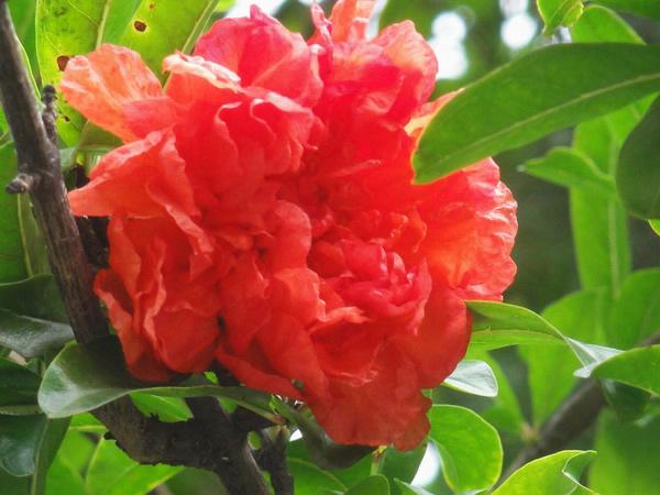 石榴花是一种非常漂亮的花,花朵至数朵生于枝顶或叶腋,就像成熟的女人穿着彩色的裙子在那里翩翩起舞,石榴花花语象征的意义非常适合家居养殖哦,一起了解下石榴花花语吧。    一、石榴花花语   石榴花花语:成熟的美丽 、富贵 和子孙满堂。   喜欢此花的你朴实无华的生活方式,给人一种老气、过时的感觉,但不要紧,这只是平庸者的一般见识。懂得追求人生真、善、美的人。才是真正懂得生活的人,别让闲言碎语影响你的人生目标。   中国人视石榴为吉祥物,以为它是多子多福的象征。古人称石榴千房同膜,千子如一。民间婚嫁之时