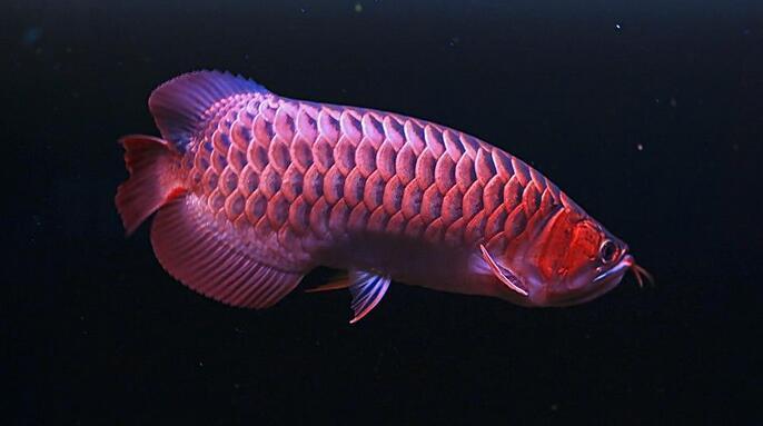 【图】红龙鱼吃什么最好?红龙鱼图片