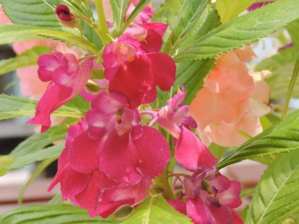 凤仙花的资料简介 凤仙花的生长过程分析