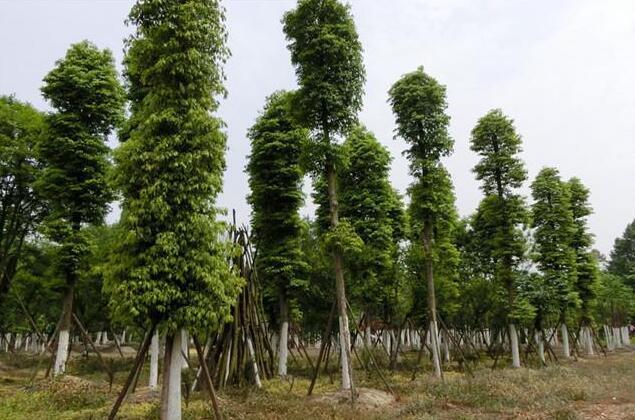 金丝楠木树种植方法介绍