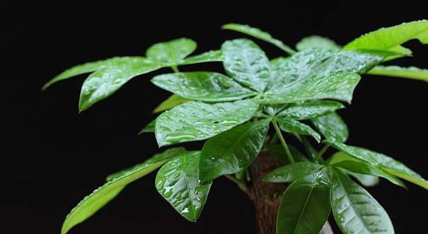 1、如果发财树呈现出先是嫩叶变成淡黄色,继而老叶也渐渐发黄的现象,其原因是浇水过多,导致发财树根腐烂,引起叶片变黄脱落。发现这一现象后额解决办法是立即控制浇水,暂停施肥,并经常松土,使土壤通气良好。   2、如果出现发财树叶片萎蔫下垂,叶色暗淡无光泽,叶子由下向上枯黄脱落的现象,其原因是你的发财树缺水了。解决办法是少量浇水并喷水,使其逐渐复原后再转入正常浇水。   3、如果发财树是枝叶瘦弱,叶薄而黄,是长久长久脱肥的表现。这时需及时倒盆,换入新的疏松肥沃的培养土并增施稀薄腐熟液肥或复合花肥。   4、