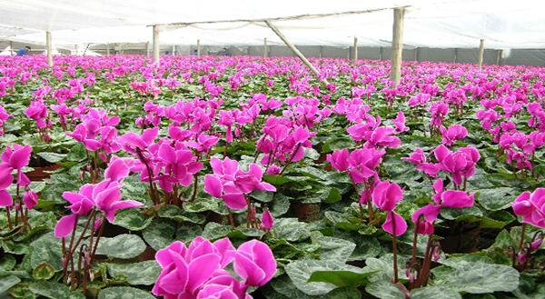 花卉片——仙客来栽培技术