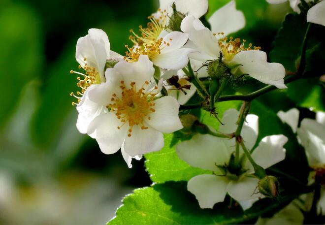 荼蘼花的花语 荼蘼花图片