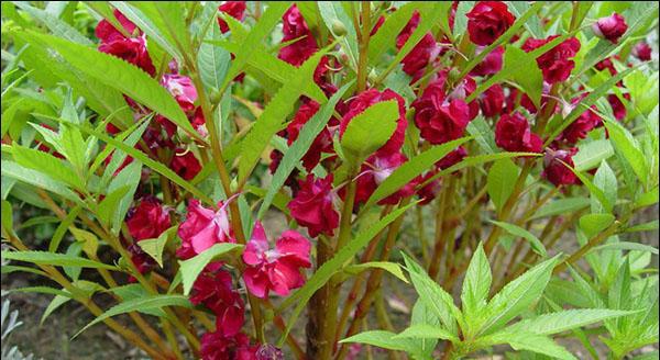 凤仙花的生长过程 凤仙花养殖注意事项