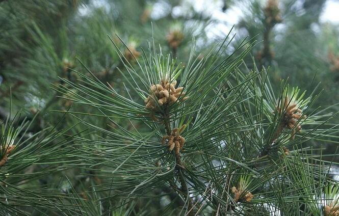松针为松科植物华山松,黄山松,马尾松,黑松,油松,云南松,红松等的针叶
