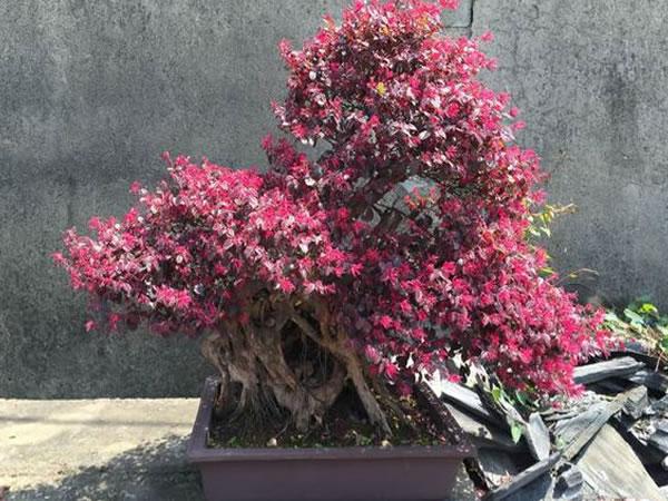 红花檵木盆景养护方法 红花檵木盆景图片