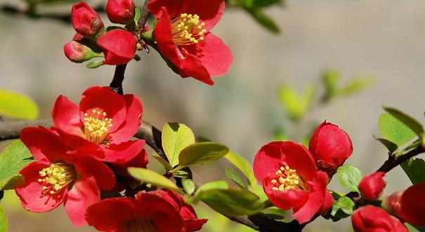 西府海棠,又名小果海棠,据说是因晋朝时生长在西府而得名,属于小乔木。叶长椭圆形,伞形总状花序,其花未开时,花蕾红艳,似胭脂点点,开后则渐变粉红,花形较大,4~7朵成簇向上,梨果球形,红色。适合种在水滨及小庭一隅。   海棠花的种类:木本 垂丝海棠   垂丝海棠是落叶小乔木,叶片卵形或椭圆形至长椭卵形,叶狭长,边缘呈锯齿状,叶片表面暗绿常带紫晕,花梗细长下垂,花粉红色,果倒卵形,略带紫色。其变种有:重瓣垂丝海棠花近似重瓣。   海棠花的种类:木本 木瓜海棠   木瓜海棠属落叶灌木或小乔木。木瓜海棠分支少