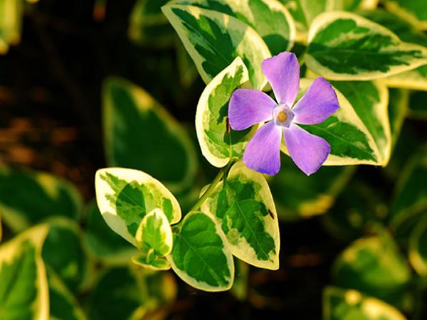 花叶蔓长春花是没有毒的,可以在室内盆栽或者水培,盆栽的话,要图片