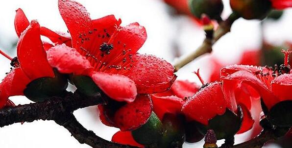 英雄树,红木棉树,木棉的花朵硕大,每一朵花都似碗口那么大,木棉花红艳