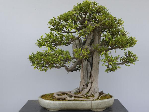 制作与养护文竹盆景造型图片②竹柏盆景怎么养竹柏的养殖方法和注意
