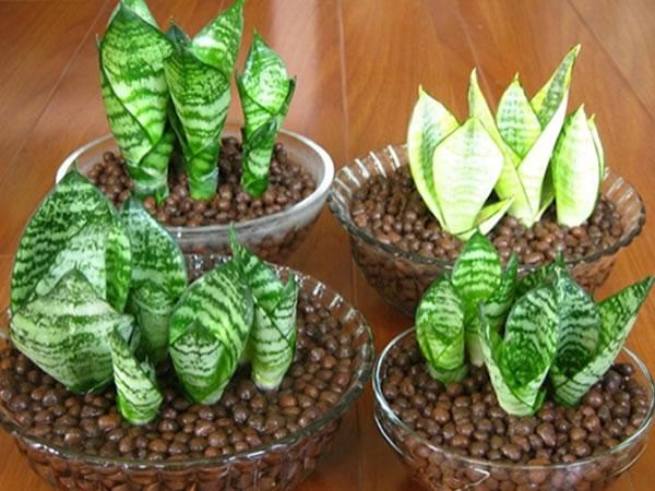 植物 虎尾兰和虎皮兰的区别是什么 虎尾兰品种有哪些        金边短叶