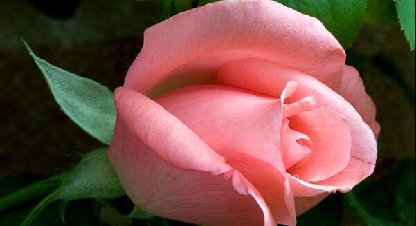 玫瑰花彩铅画法步骤加图片