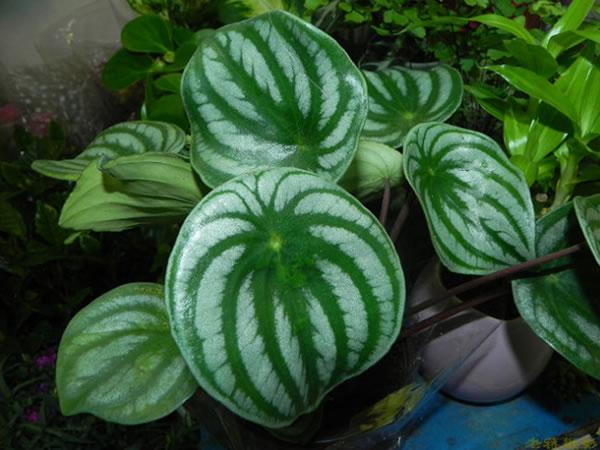 西瓜皮椒草花语是什么 西瓜皮椒草作用有哪些