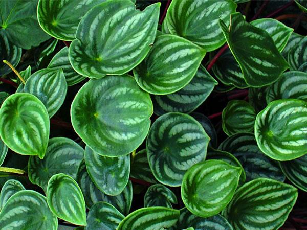 西瓜皮椒草养殖方法已经给大家分享过了,相信大家已经熟悉了西瓜皮椒草怎么养殖。接下来小柒要分享的是西瓜皮椒草的繁殖方法和病害防治,一起了解下吧。    一、西瓜皮椒草繁殖方法   1、分株:西瓜皮椒草分株一般在春秋进行,温度20度左右最为合适,结合换盆换土进行,反正都要拔起来,抖掉土,用锋利的刀子切断新芽。不要伤到母株和新芽,小心下刀,如果是长满了一盆,那么随意掰下一些侧枝都能繁殖。   2、扦插:西瓜皮椒草扦插挑选一段长得壮的分枝(5~8cm的分枝),用刀子切下来,把剪断的分枝下部的叶子去掉,稍微晾干